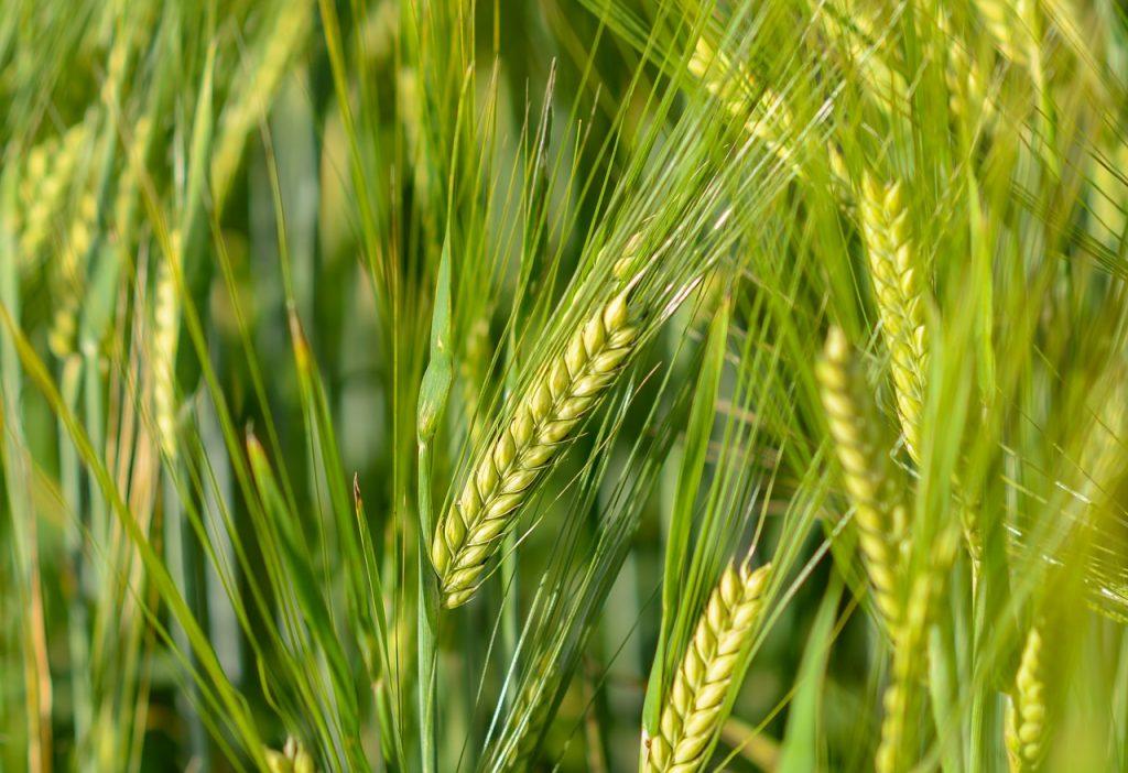 小麦胚芽油 ウィートジャームオイル